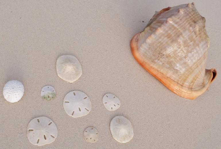 conchas y sand dollars en san blas panama