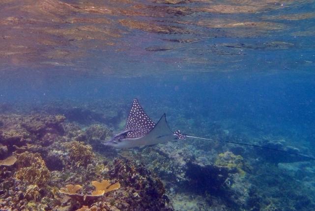 spotted ray san blas